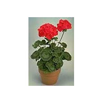 12 Semillas De Pelargonium Spp - Geranio Hibrido Rojo C 555