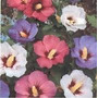 Rosa De Sharon 5 Semillas Flor Jardín Planta Sdqro