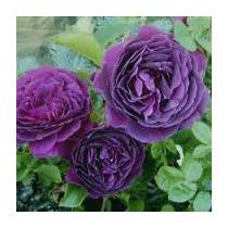 Rosa Trepadora Purpura 8 Semillas Flor Jardín Planta Sdqro