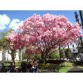 Semillas De Árbol De Flor De Primavera Hermoso
