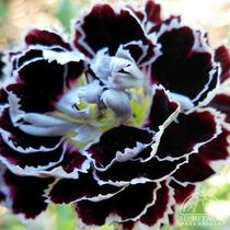10 Semillas Clavel Variedad Velvet - Dianthus Caryophyllus