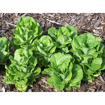 200 Semillas Lechuga Buttercrunch Vegetal Huerto Jardin Vbf