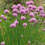 50 Semillas Cebollines O Chives Ornamental Jardin Huerto Vbf