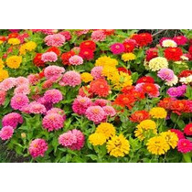 Zinnia Elegans Mix 10 Semillas Flores Planta Sdqro