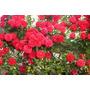 Rosa Trepadora Roja 8 Semillas Flor Jardín Planta Sdqro