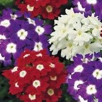 Verbena Mixta 10 Semillasflor Jardín Sdqro