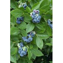 50 Semillas Arándano Azul Blueberry Vaccinum Corymbosum Vbf