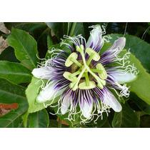 50 Semillas De Passiflora Maracuya Passiflora Edulis