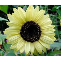 Girasol Lemon Queen 5 Semillas Jardín Flor Sdqro
