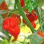15 Semillas Chile Trinidad Scorpion Butch T Picante Exotico