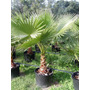 Palmera De Abanico Mexicana Washingtonia 20 Semillas
