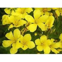 Linaza Amarilla 10 Semillas Flor Jardín Planta Sdqro