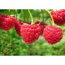 20 Semillas Frambuesa Roja Raspberry Arbusto Huerto