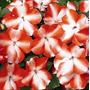 Impaciente Waleriana Chino 10 Semillas Flores Jardín Sdqro