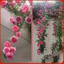 Semillas Exóticas.rosal Trepador Enredadera Rosa.flores