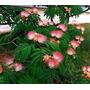 Semillas Mimosa Arbol De Seda Albizia Plantas Jardin Flores