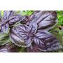 Semillas Albahaca Roja Morada Opal Aromatica Jardin Plantas