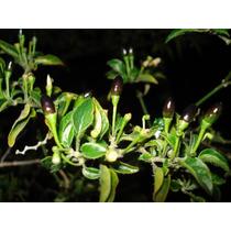 50 Semillas De Chile Amashito Capsicum Annuum Var. Aviculare