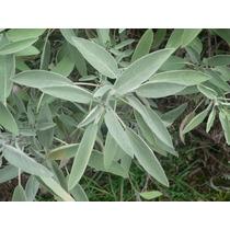 50 Semillas O 1 Gramo De Salvia Aromatica Officinalis