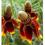 Ratibida Comunaris Mexican Hat 10 Semillas Flor Sdqro