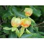Arbol De Tulipanes (10 Semillas)