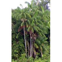 8 Semillas De Euterpe Oleracea (palma Acai O Asai) Cod. 1347