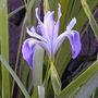 10 Semillas De Iris Douglasiana (iris Douglas) Codigo 579