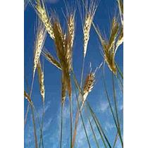 1 Kg De Semillas Secale Cereale - Centeno $28 Codigo 177