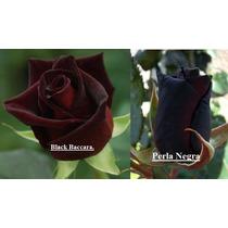 Semillas Rosal Exotico Flores Jardin Plantas Sangre De Toro
