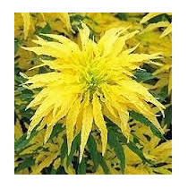 Amaranto Golden 10 Semillas Flores Jardín Planta Sdqro