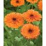 Caléndula Mercadela 10 Semillas Flores Jardín Planta Sdqro