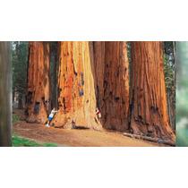 Metasequoia Redwood Arbol Gigante ( 30 Semillas)
