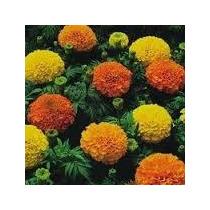 Cempasuchil Doble Mix 20 Semillas Flor Jardín Planta Sdqro