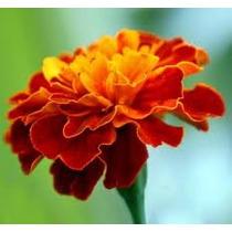 Cempasuchil Enano 20 Semillas Flor Jardín Planta Sdqro