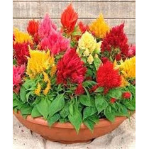 Celosia Plumosa Mix 20 Semillas Flor Jardín Planta Sdqro