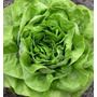 50 Semillas Organicas Lechuga Francesa Boston Reina De Mayo