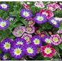 Bella De Día Convolvulus 15 Semillas Flor Jardín Sdqro
