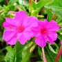 Mirabilis Jalapa Rosa 6 Semillas Flor Jardín Sdqro Aromatica