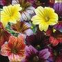 Salpiglosis 15 Semillas Flor Enredadera Jardín Sdqro