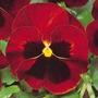 Pensamiento Rojo 20 Semillas Flor Jardín Sdqro