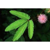Acacia Sensitiva 10 Semillas Flor Jardín Planta Sdqro