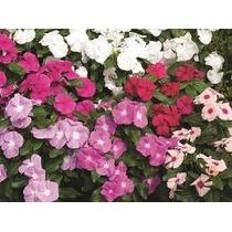 Vinca Mix 15 Semillas Flores Planta Sdqro