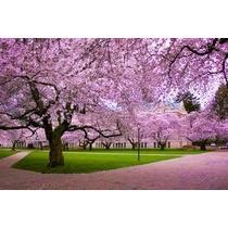 Cerezo Japones 5 Semillas Jardín Árbol Ornato Sdqro