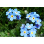 No Me Olvides 20 Semillas Flores Jardín Planta Sdqro