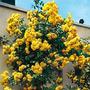 Semillas Rosas Rosal Trepador Enredadera Amarillo Flores