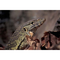 Poster (89 X 59 Cm) Nile Monitor Lizard Gombe National Park