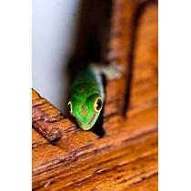 Poster (57 X 86 Cm) Gecko Lizard Fregate Island Resort