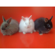 Auténticos Conejos Jersey Wooly (enano Angora) De Raza Pura