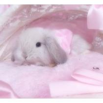 Conejos Belier Minilop