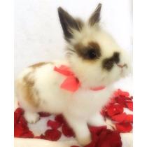 Conejos Enanos Cabeza De Leon